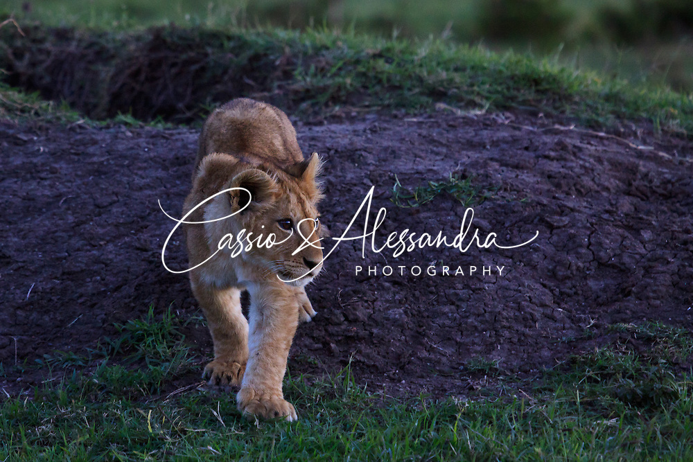 Kenya - Maasai Mara - Lion - Panthera leo - The black cotton mud emerging from the ground behind the cub gives a great unusual contrast of colors to this apparently ordinary picture.