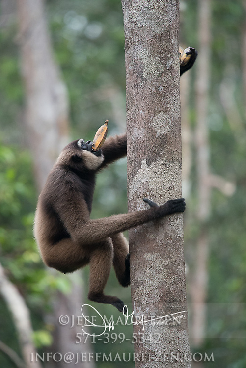 An Agile gibbons, an arboreal primate, hangs high in the trees of the Bornean jungle of Tanjung Puting National Park in Indonesia.