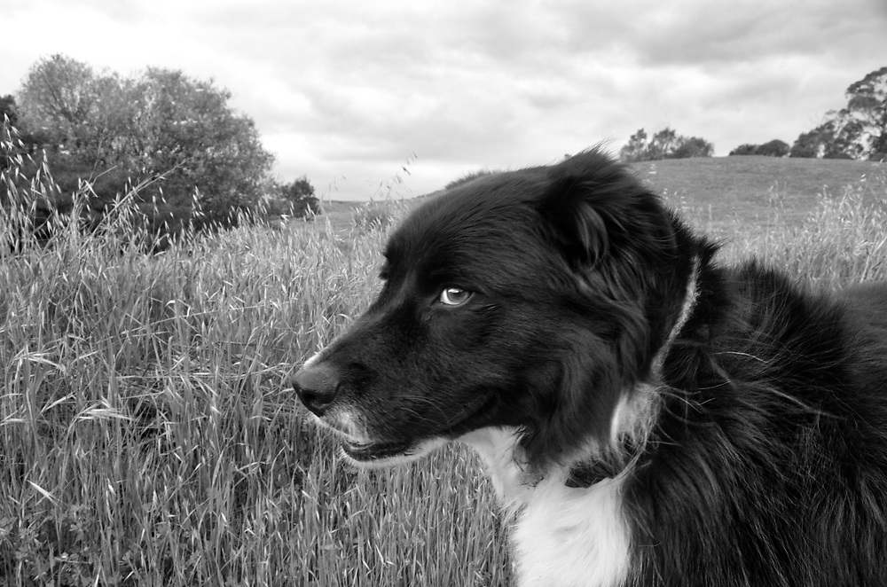 Dog in the pasture as the dark sky indicates a storm is approaching.
