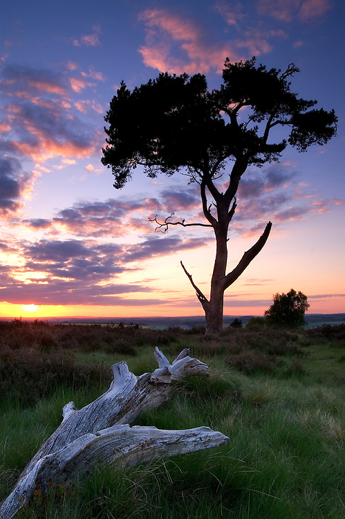 This is my favourite area of the Chase, a magnificent Scots Pine on top of Broc Hill with a view looking out over the Staffordshire countryside.