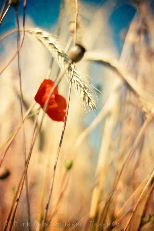 Poppy flower and wheat with shallow dof<br /> <br /> Prints &amp; more:<br /> http://society6.com/DirkWuestenhagenImagery/depth-of-a-field_Print