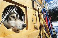 Sled dog, Yukon