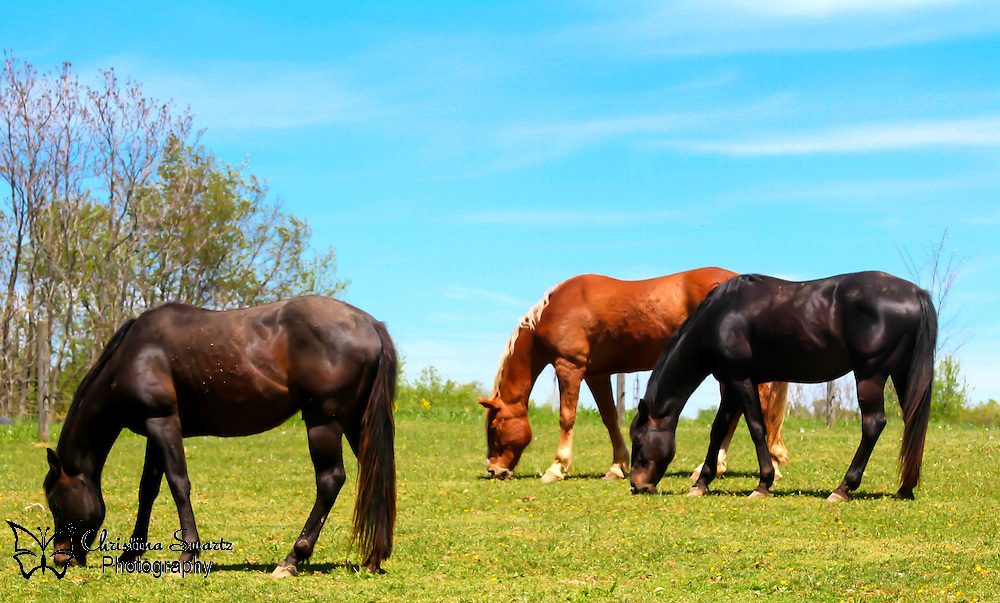 Horses In Field image for sale, Humans domesticated horses some 6,000 years ago, and over time, we have created more than 200 breeds, from the powerful Clydesdale to the graceful Arabian. As we have shaped horses to suit our needs on battlefields, farms, and elsewhere, these animals have shaped human history. They have also captured our imagination and hearts. Millions of people rely on horses as their spirited, dedicated, much adored companions.