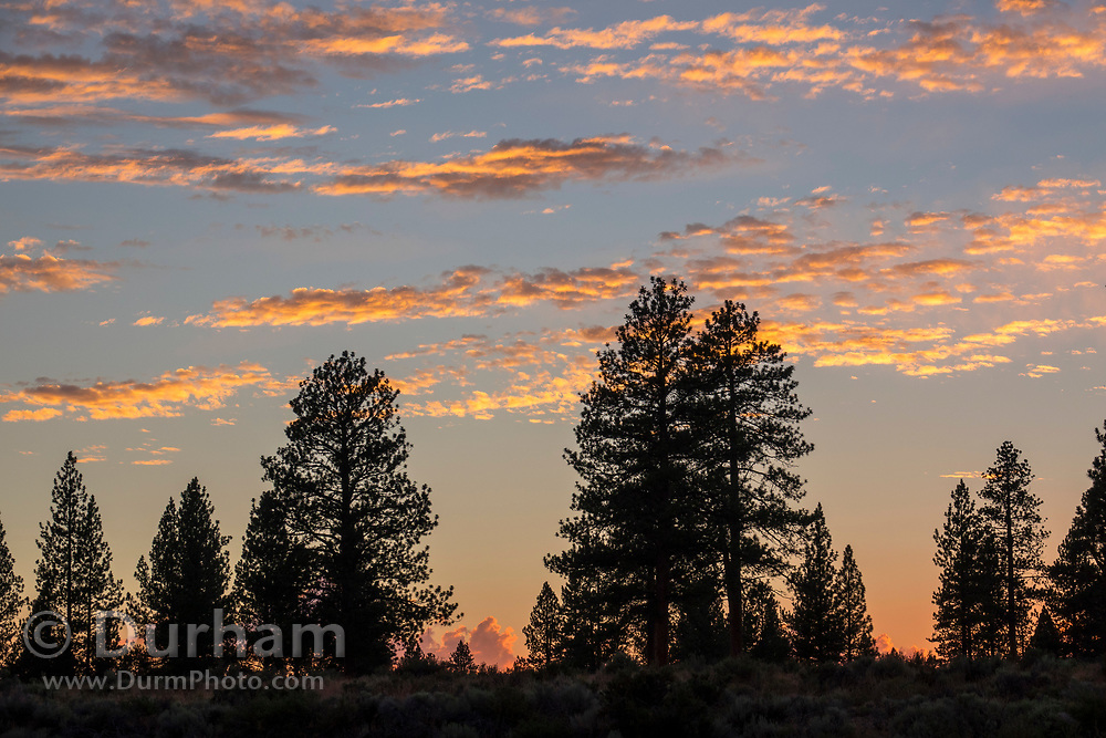 Colorful sunset with the silhouettes of ponderosa pine trees in the high desert of Central Oregon.