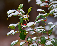 Holly tree and red berries after a light snow. Images taken with a Nikon D700 camera and 80-400 mm VR lens (ISO 1250, 230 mm, f/5.6, 1/400 sec)
