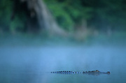Alligator cruising through a cypress swamp on a cool, foggy morning - Mississippi