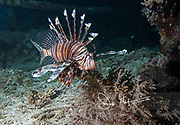 A Pterois or lionfish, swims along the sea floor at nighttime in Raja Ampat, Indonesia.