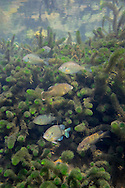 Bluegill (with various other sunfish)<br />