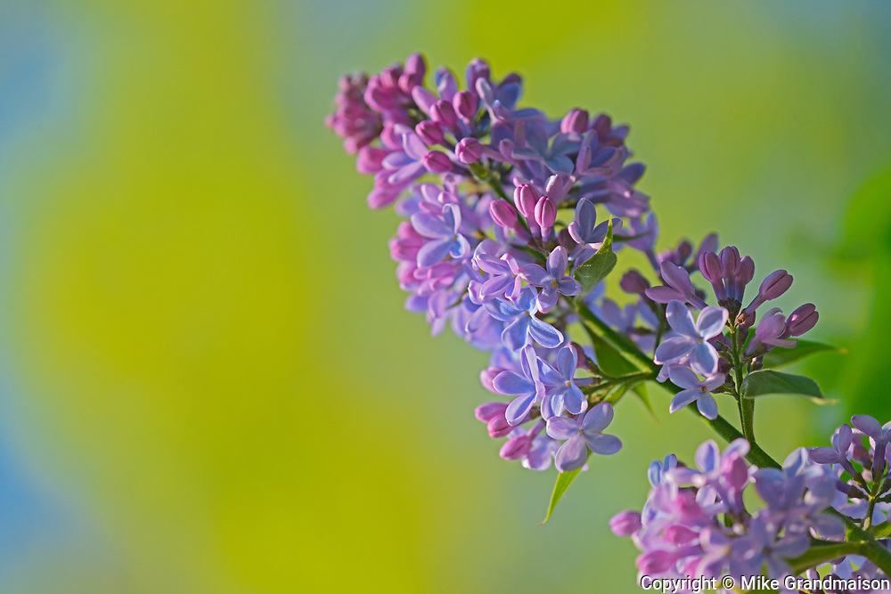 Lilac, Winnipeg, Manitoba, Canada