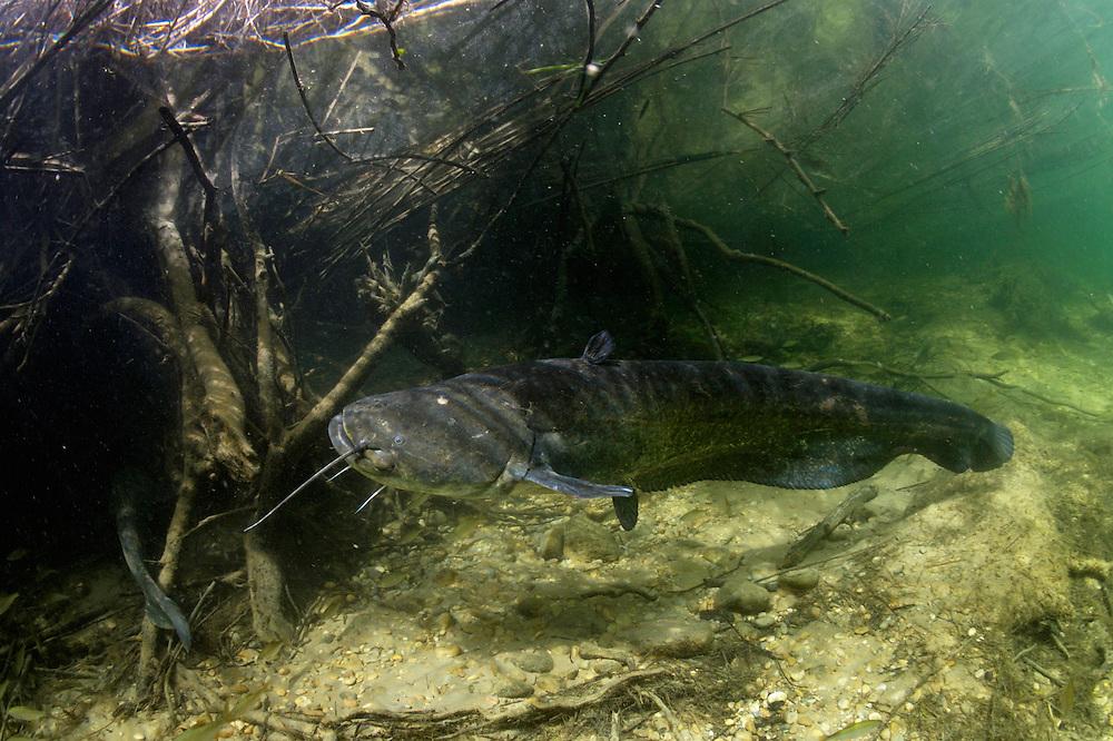 Wels - Silure glane - Wels catfish (Silurus glanis)<br /> Laichregion, Rio Ebro, Spanien<br /> P&eacute;riode de fraye, Ebre, Espagne<br /> Spawning period, Rio Ebro, Spain<br /> CANON EOS 5D EF15/2.8<br /> 16-05-2007