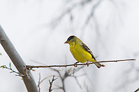 A male lesser goldfinch rests in a tree in Cochise County in southeastern Arizona. Smallest of the goldfinches, this attractive finch was photographed near the San Pedro River near Sierra Vista on a stormy springtime afternoon.