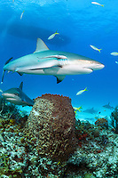 Caribbean Reef Sharks and diveboat<br /> <br /> Shot in Bahamas