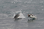 Gentoo Penguins ( Pygoscelis papua ) swimming and leaping.