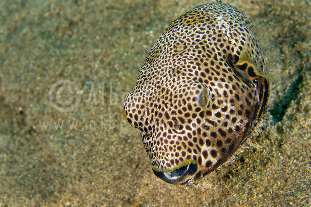 Alberto Carrera, Pufferfish, Starry Pufferfish, Arothron stellatus, Lembeh, North Sulawesi, Indonesia, Asia
