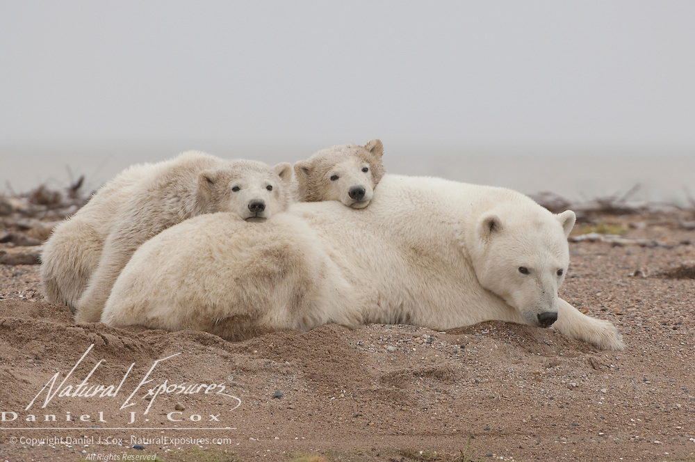 Polar Bear (Ursus maritimus) moher and  cubs south of Churchill, Manitoba, Canada.