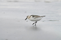 Sanderling (Calidris alba) foraging along tide line, Cherry Hill Beach, Nova Scotia, Canada