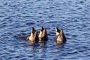 Drake mallards in wetland habitat