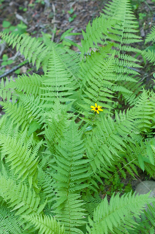 Single yellow flower growing up through a green fern