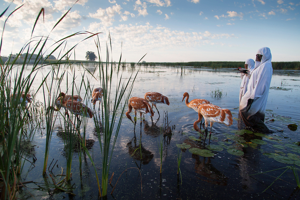 Whooping Cranes forage for food in a marsh under the watch of costumed aviculturists.
