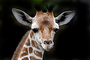 Baby Giraffe at the Memphis Zoo © Karen Pulfer Focht-ALL RIGHTS RESERVED-NOT FOR USE WITHOUT WRITTEN PERMISSION