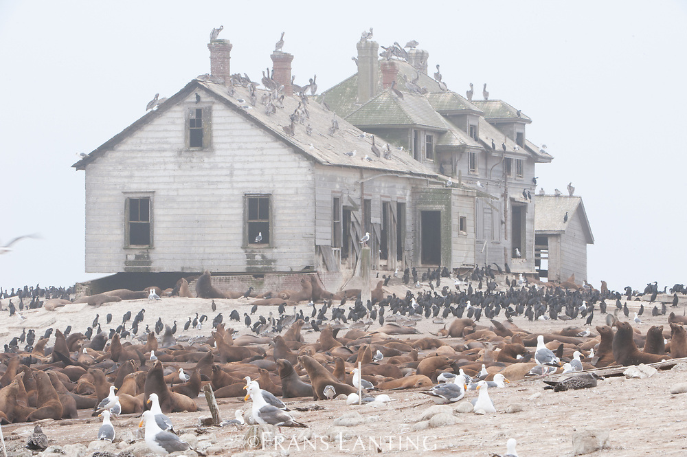 California sea lions and abandoned house, Ano Nuevo Island, Monterey Bay, California, USA