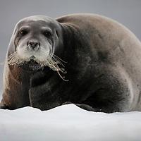 Norway, Svalbard, Nordaustlandet, Bearded Seal (Erignathus barbatus) resting on pan ice near Lågøya Island in Franklin Sound on summer evening