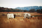 Longhorn cattle at the Wichita Mountain Wildlife Refuge
