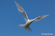 white tern or fairy tern, Gygis alba rothschildi, Sand Island, Midway, Atoll, Midway Atoll National Wildlife Refuge, Papahanaumokuakea Marine National Monument, Northwest Hawaiian Islands,  ( Central North Pacific Ocean )