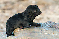 A newly born Cape Fur Seal pup, Namaqua National Park, South Africa