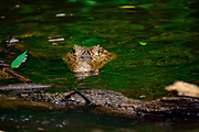 Spectacled caiman (Caiman crocodilus). Submerged in water. This reptile inhabits wetlands in Central and South America. It is exclusively carnivorous, feeding on fish, water birds and amphibians, and taking larger prey such as pigs when fully grown. An adult male can reach a length of around 2.5 metres, with females rarely exceeding 1.5 metres. Photographed in Costa Rica.