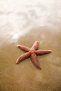A sugar starfish (Asterias rubens) on Isle of Palms beach near Charleston, SC.