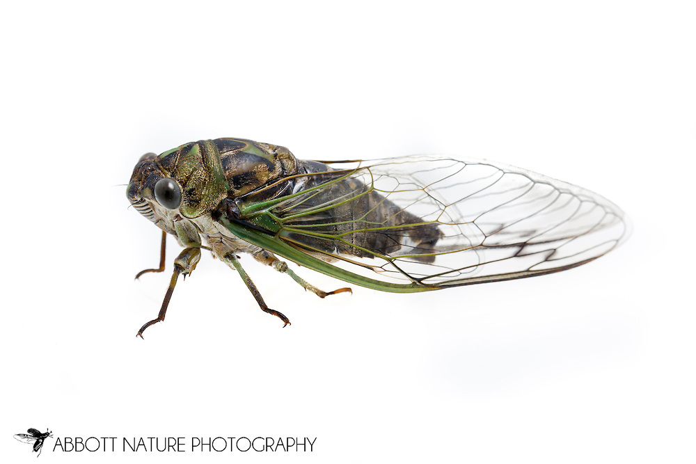 Linne's Cicada (Tibicen linnei)<br /> KENTUCKY: Jessamine Co.<br /> Nicholasville<br /> 22-Jun-2015<br /> J.C. Abbott #2750 &amp; K.K. Abbott