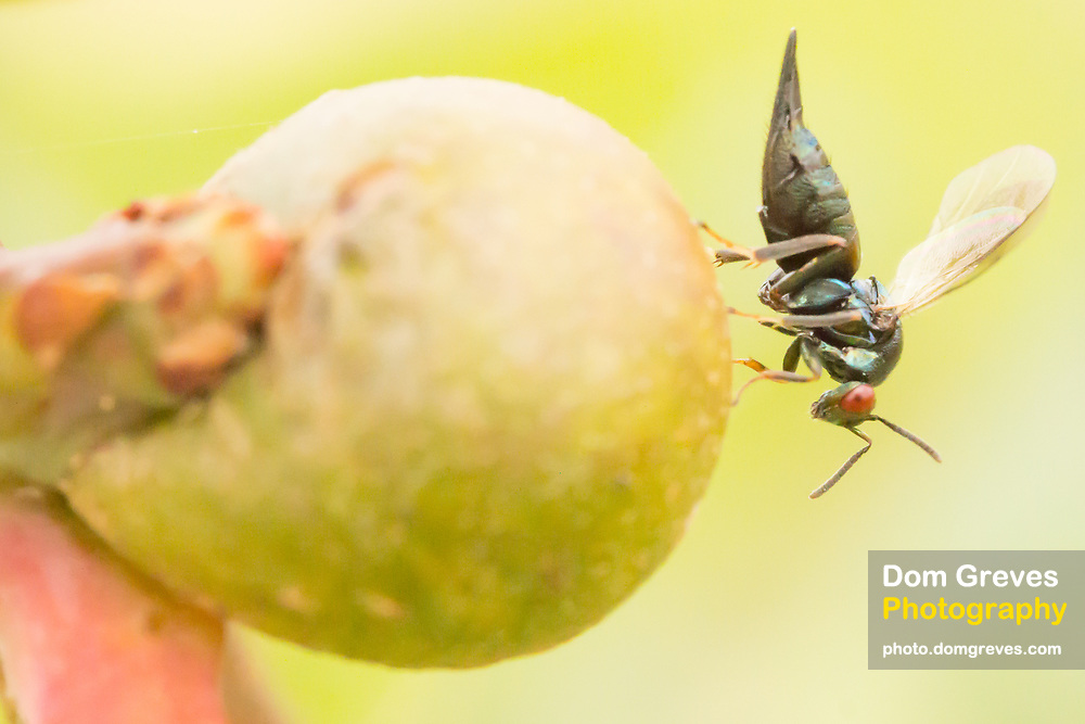 Chalcid wasp female (Ormyrus sp.?) on oak gall. Surrey, UK.