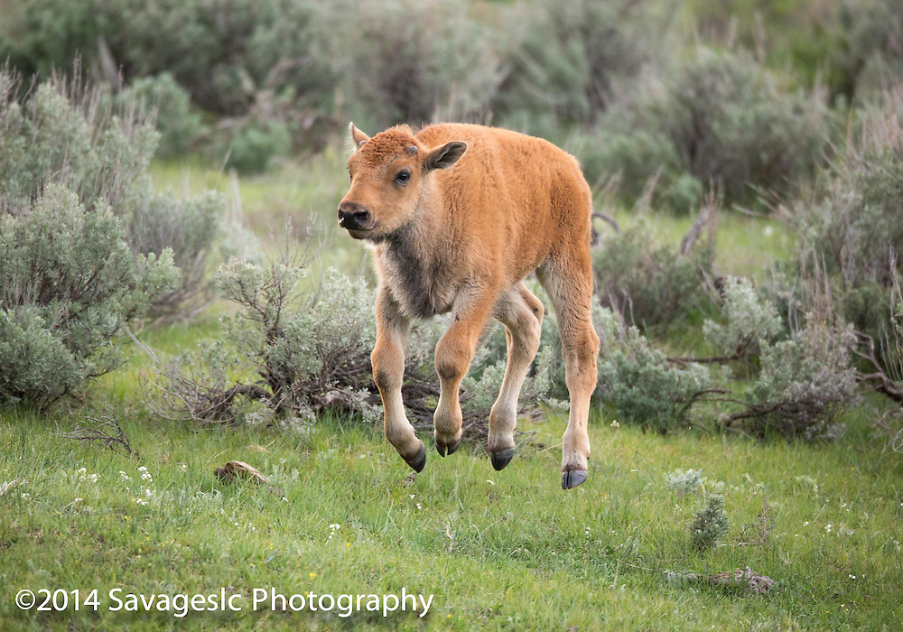 Bouncing bison calf.