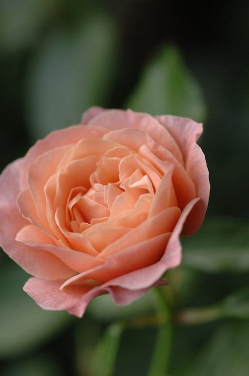 Pinkish Peach Rose