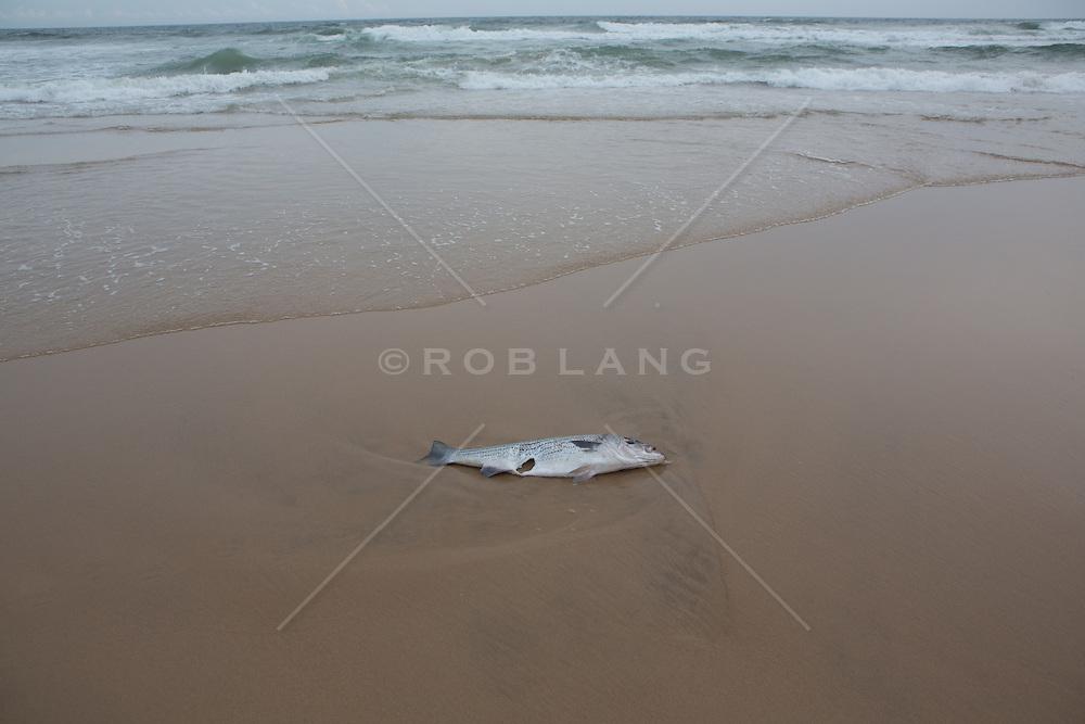 dead fish on the beach in Montauk, NY