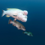 This is a mature male Asian sheepshead wrasse (Semicossyphus reticulatus) approaching two smaller female wrasses during the courtship season. Note that the bellies of the females are swollen with eggs, indicative of receptivity for spawning. The male takes on this pastel coloration for breeding and territorial competition with other males.