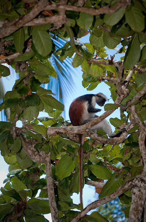 Zanzibar red colobus monkey, Piliocolobus kirkii