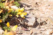 Heath potter wasp (Eumenes coarctatus) quarrying a ball of clay for nest construction. Dorset, UK.