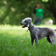 Images of Wilfred the Bedlington Terrier, at St Anns Well gardens, Brighton.