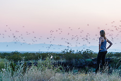 Woman watching Mexican free-tailed bats in flight against evening sky after emerging from roost in lava tubes on Armendaris Ranch, Ted Turner Expeditions, near Truth or Consequences, New Mexico, USA.