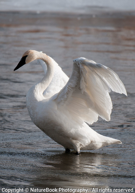 A Trumpeter Swan stretches and adjusts its wings while enjoying the water near the National Elk Refuge at Grand Teton National Park.