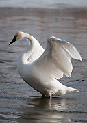 A Trumpeter Swan stretches and adjusts its wings while in the water near the National Elk Refuge at Grand Teton National Park.