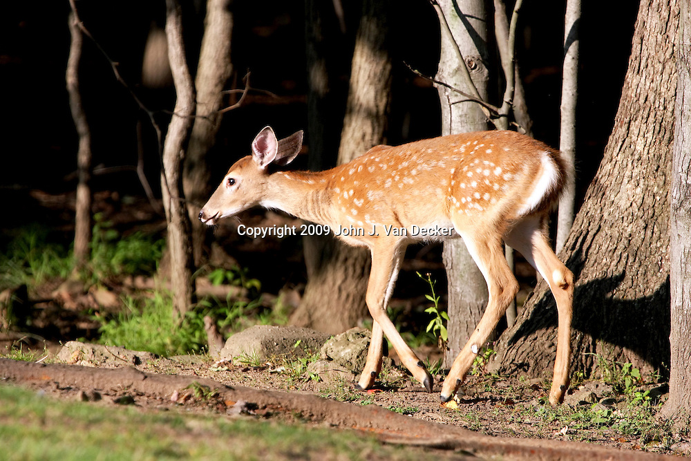 White-tailed deer fawn walking at the edge of a woods, Rifle Camp Park; Garret Mountain, New Jersey
