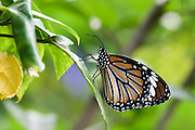 """Common Tiger (Danaus genutia) is one of the common butterflies of India. It belongs to the """"Crows and Tigers"""", that is, the danainae group of the Brush-footed butterflies family. The butterfly is also called Striped Tiger in India  Photographed in Cambodia"""