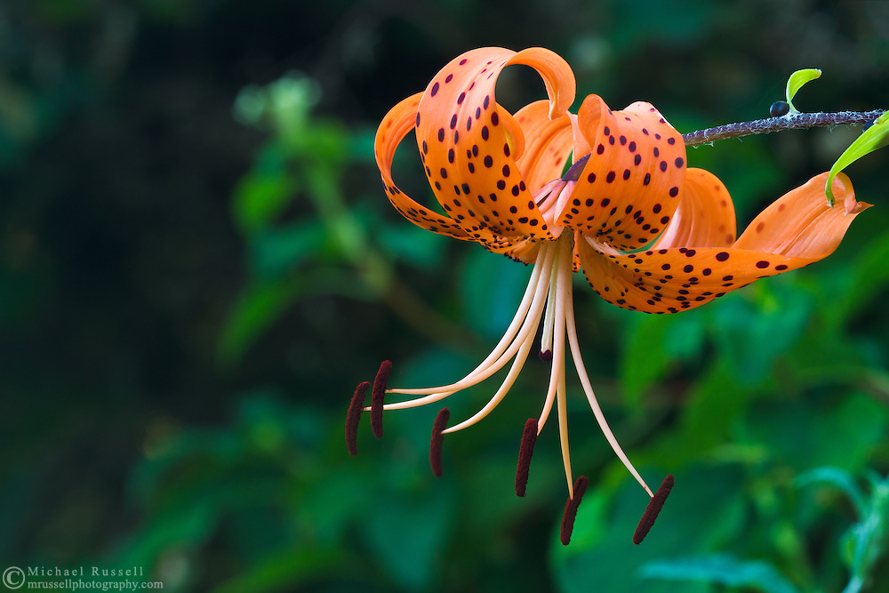 A Tiger Lily (Lilium columbianum) in full bloom in the Fraser Valley of British Columbia, Canada