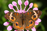 Close up shot of a Buckeye butterfly on a pink flower. Shot at the Desert Botanical Gardens in Phoenix, Arizona