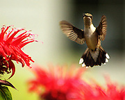 FEMALE HUMMING BIRD FEEDING AT BEEBAUM