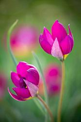 Tulipa humilis 'Persian Pearl' syn. Tulipa pulchella 'Persian Pearl'