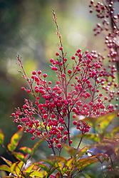 The berries of Nandina domestica. Heavenly bamboo, Sacred bamboo